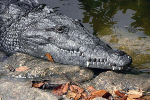 Узкая и заостренная голова крокодила