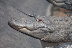 Голова аллигатора