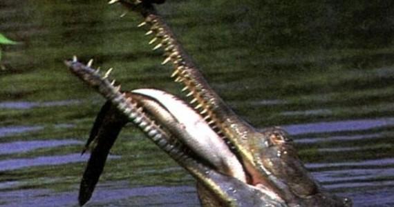Гавиал питается исключительно рыбой