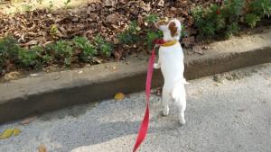 Собаку Лаки взяли щенком с улицы. Она справляет свой первый день рождения у нас дома.