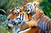 Популяции тигров увеличились