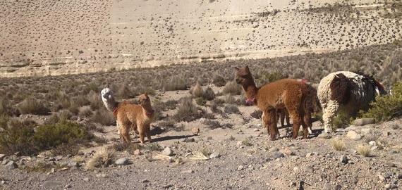 Альпаки. Национальный парк